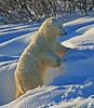 Standing polar bear - Polar Bears & Northern Lights - Hudson Bay, Canada - Mark Rasmussen - November 2008