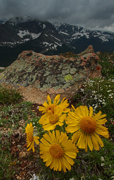 Sunny Rydbergia in bloom near Trail Ridge Road - Rocky Mountain National Park, Colorado - Mark Rasmussen - July 2011