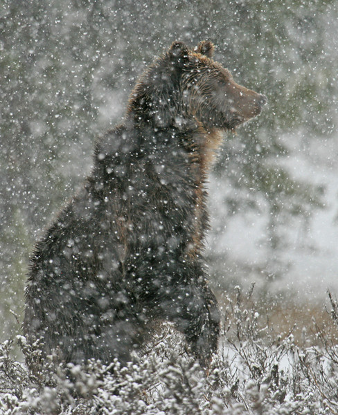 Grizzly Standing in Snow Storm - Yellowstone National Park, Wyoming - Mark Rasmussen - May 2008