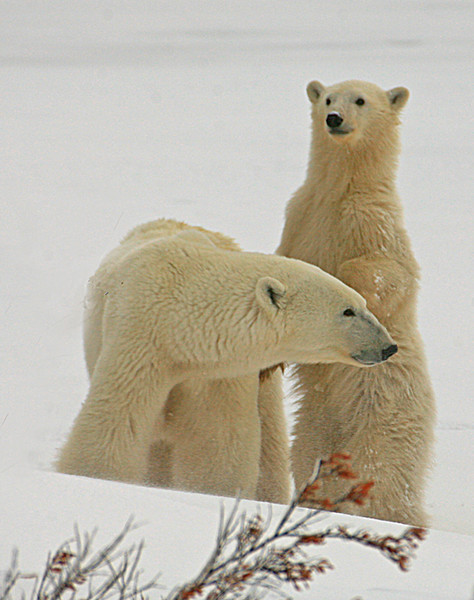 Mother polar bear with standing cub - Polar Bears & Northern Lights - Hudson Bay, Canada - Mark Rasmussen - November 2008