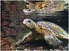 Green Sea Turtle encounter - Hawaiian Islands - Mark Rasmussen - February 2011