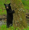 Black bear cub - Great Smoky Mountains National Park - Mark Rasmussen - April 2012