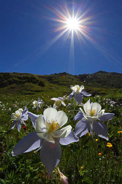 Columbines and sunstars in American Basin - San Juan Mountains, Colorado - Mark Rasmussen - July 2010