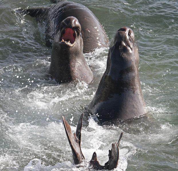 Sea Lion Fight - Southern California Coast & Missions - Mark Rasmussen - January 2011