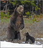 Grizzly sow standing near newborn cub - Yellowstone National Park, Wyoming - Mark Rasmussen - June 2011