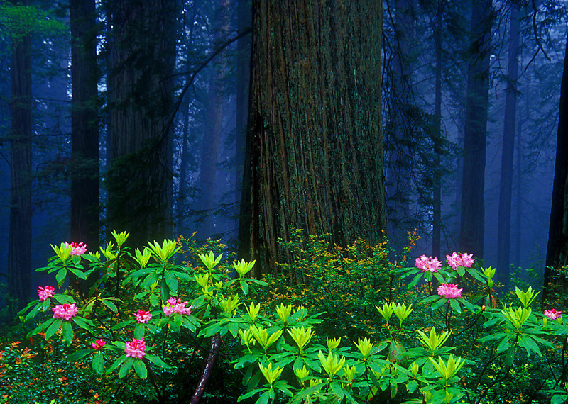 Redwoods and Rhododendrons - Jedediah Smith Redwoods Preserve, California (Oregon Coast Tour) - Mark Rasmussen
