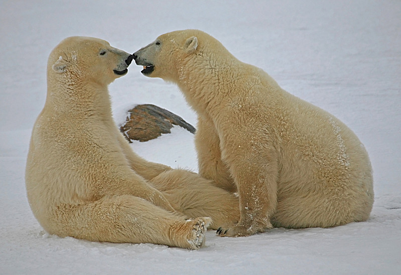 Nose to nose - Polar Bears & Northern Lights - Hudson Bay, Canada - Mark Rasmussen - November 2008