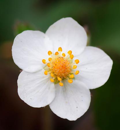 Blomst av Markjordbær
