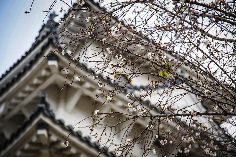 Cherry Blossoms at Himeji