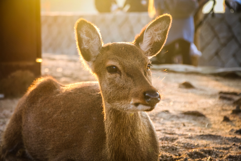 Deer at Miyajima