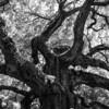 Chêne en Noir et Blanc