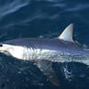 mako-shark_18970353389_o
