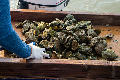 Natasha Breaux sorts through the harvested oysters to sort them into buckets.