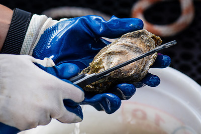 Desiree Corbiere measures a harvested oyster shell's length at their sampling site in Aransas Bay.