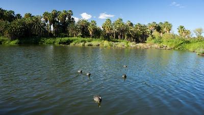 Mexico. San Ignacio. Birds swimming in lagoon.