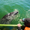 Mexico. San Ignacio Lagoon. Tourists interacting with whales.