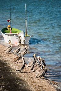 Mexico. San Ignacio Lagoon. Pelicans standing on shore.