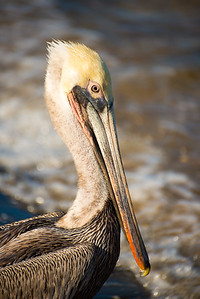 Mexico. San Ignacio Lagoon. Single pelican standing.