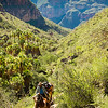 Mexico, Baja. Sierra deSan Francisco, Santa Teresa Canyon. Man guiding pack mules.