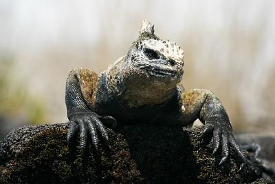 iguana_hi-res.jpg