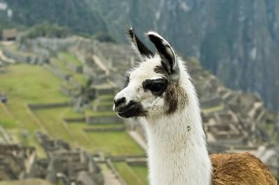 Llama_on_Machu_Picchu.jpg