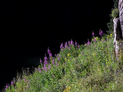 Fireweed along Geneva Lake