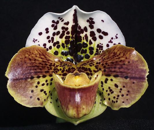 Marriott Orchids Paphiopedilum Photo Gallery
