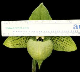 malipoense GreenGiant scale