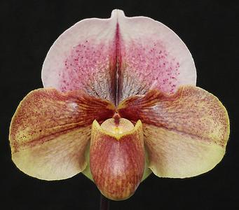 Woodrose x bellatulum  One In A Million