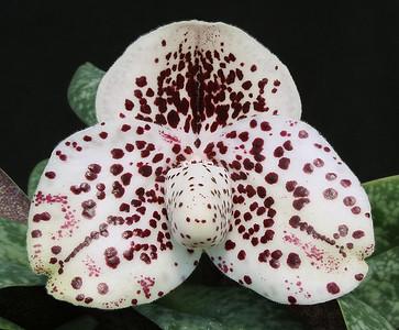 bellatulum CrownedPrince HCC