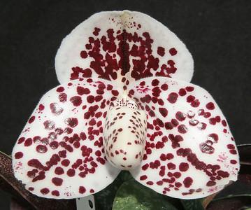 bellatulum Spotmaster
