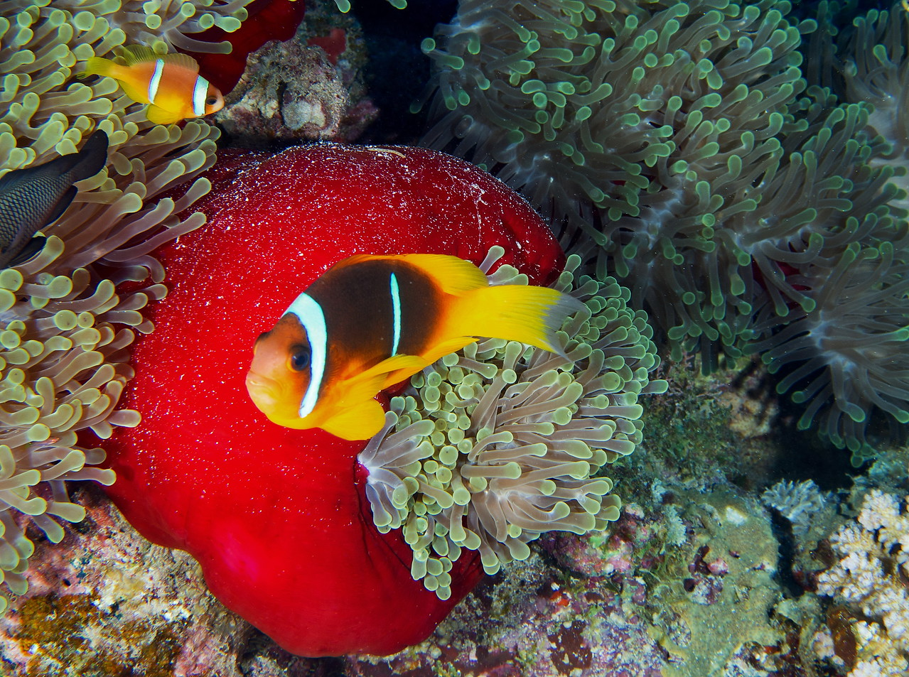 Red Sea anemonefish and red anemone.