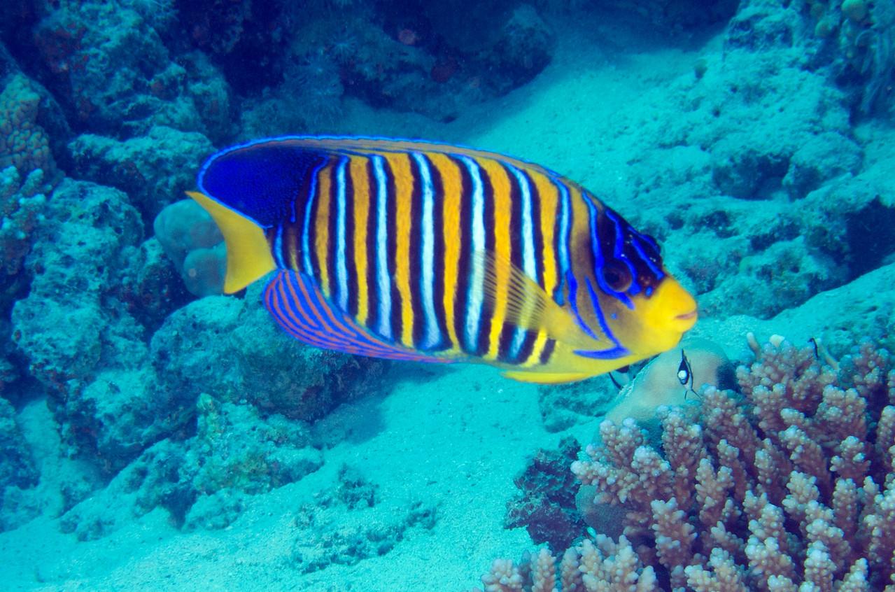 Royal angelfish.