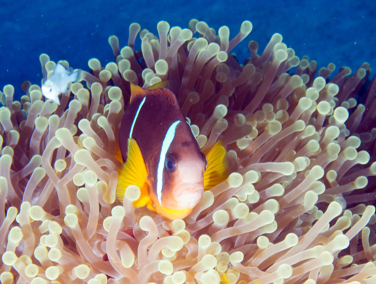 Another anemone and anemonefish at Nemo City, this one not red.