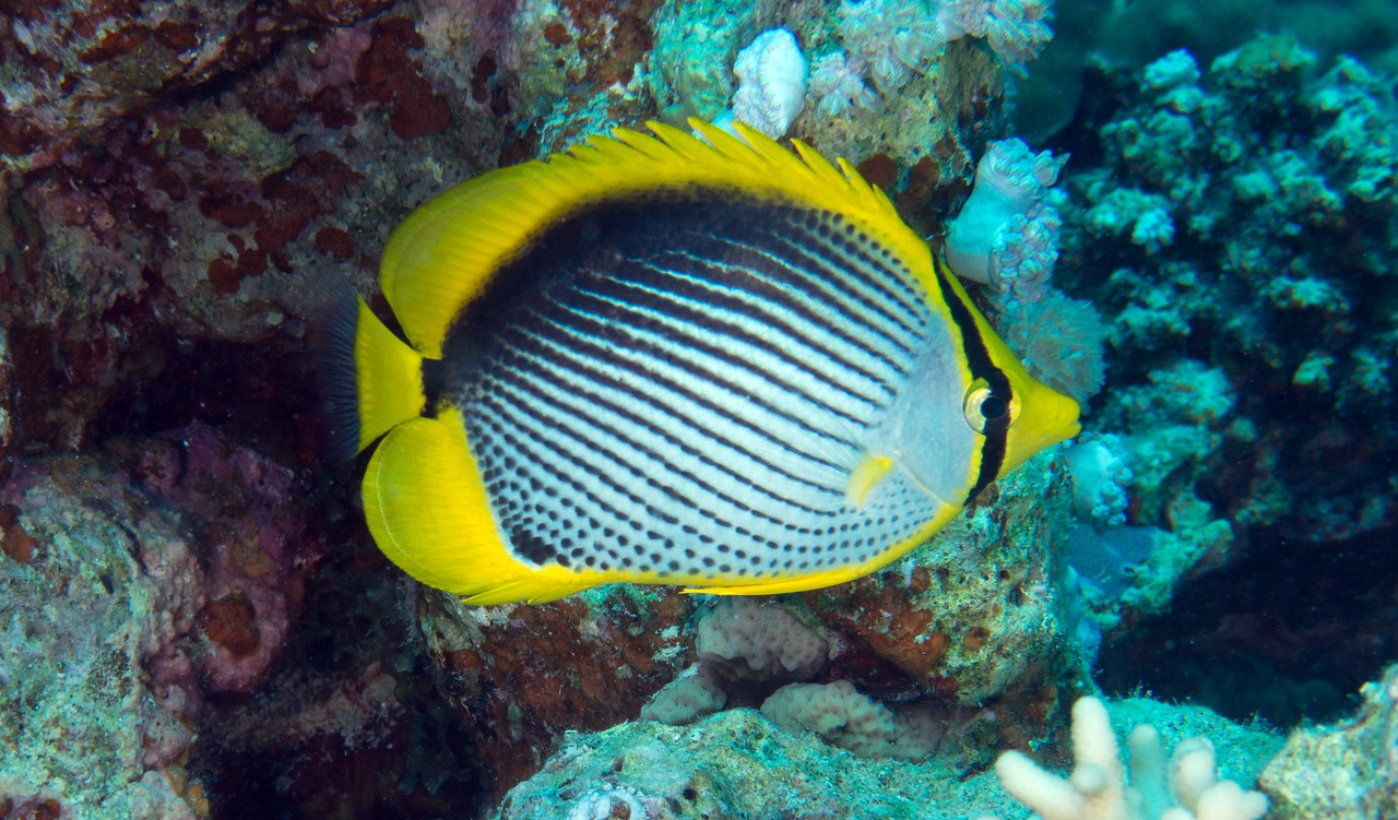Blackbacked butterflyfish. There are hundreds of species of butterflyfish in the world, at least 18 in the Red Sea. This one is said to be elatively uncommon.