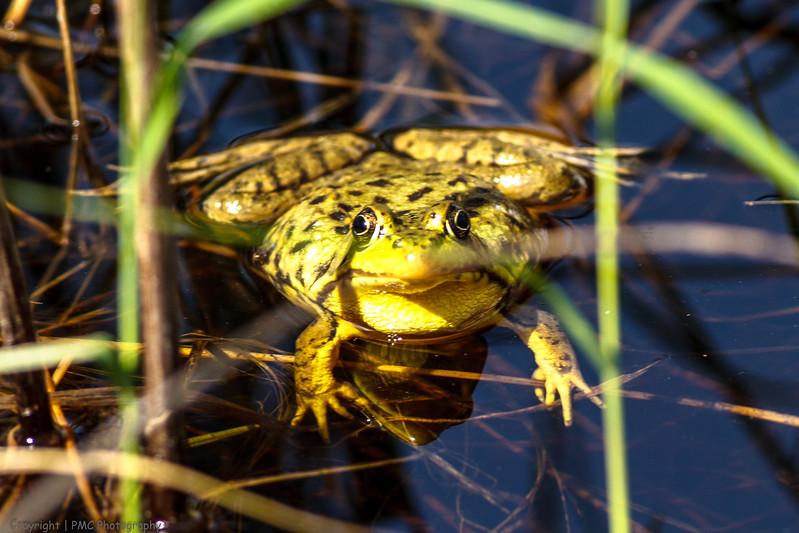 Northern Leopard Frog [?]