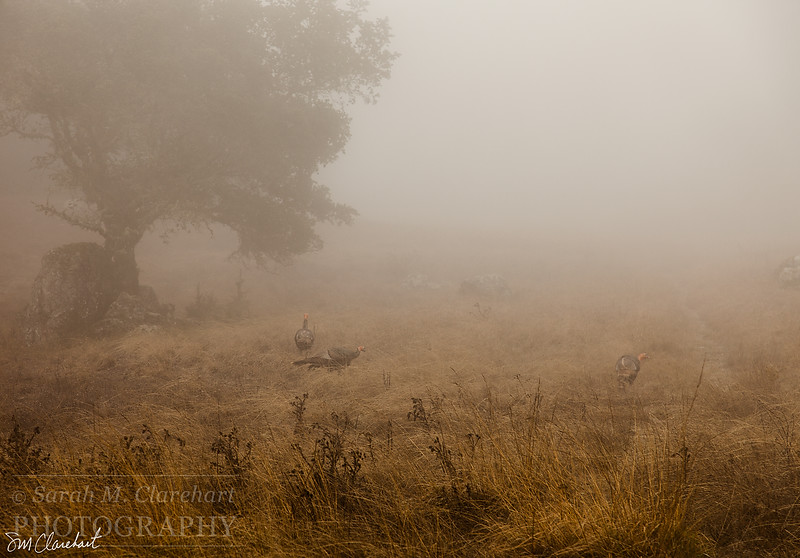 TurkeysintheFog4498