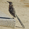 ROAD RUNNER THAT KEN CHASED INTO THE HOTEL GROUNDS