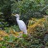 Cattle Egret - Breading Plumage