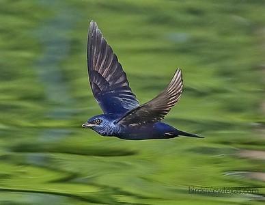 Martins/Swallows
