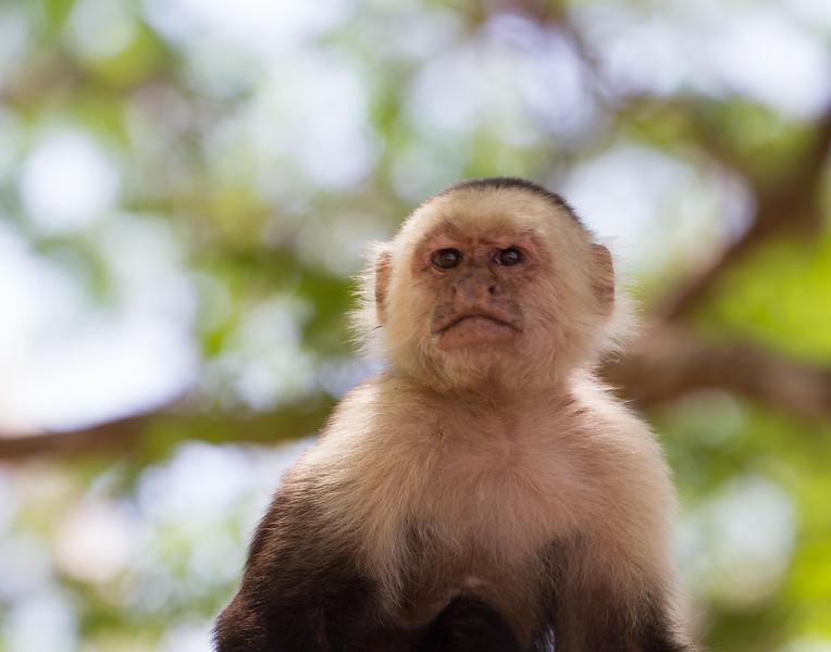 Stoic Monkey. Costa Rica.