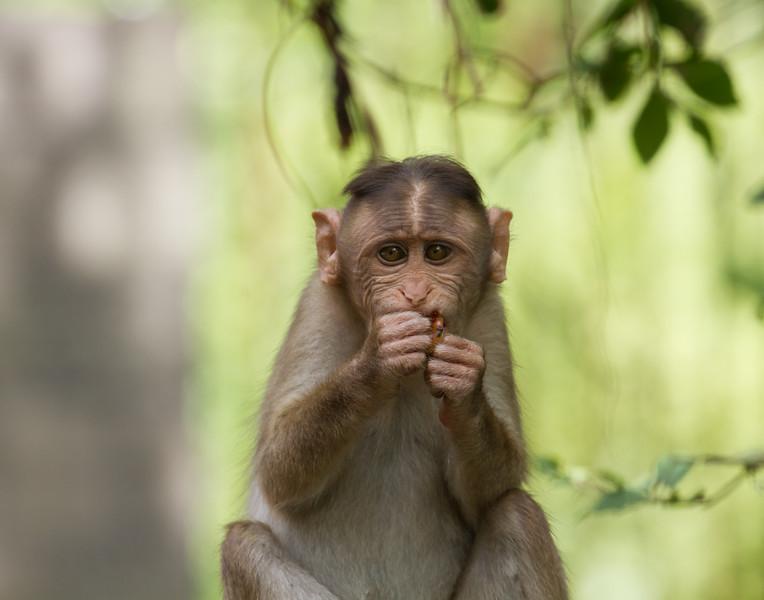 Monkey Snack. India.