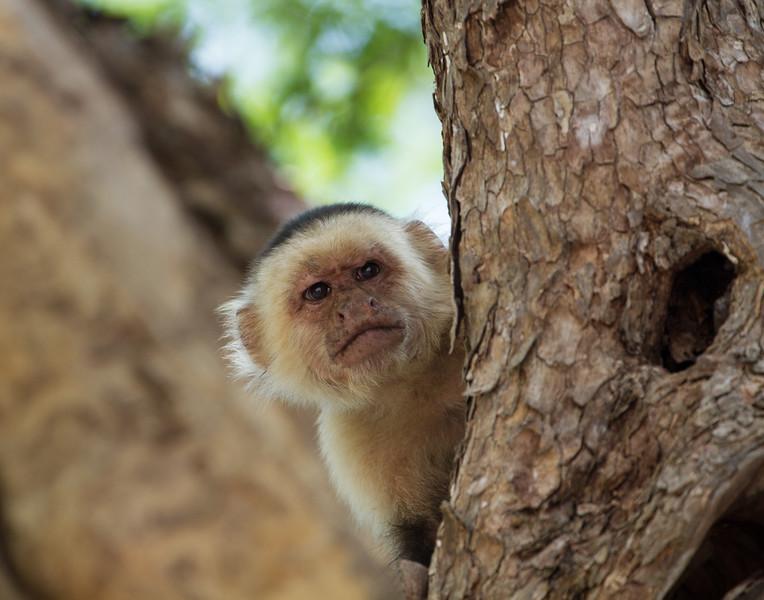 Monkey Around the Corner. Costa Rica.