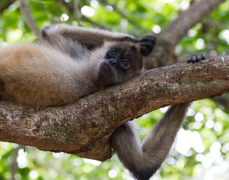 Monkey Fatigue. Costa Rica.