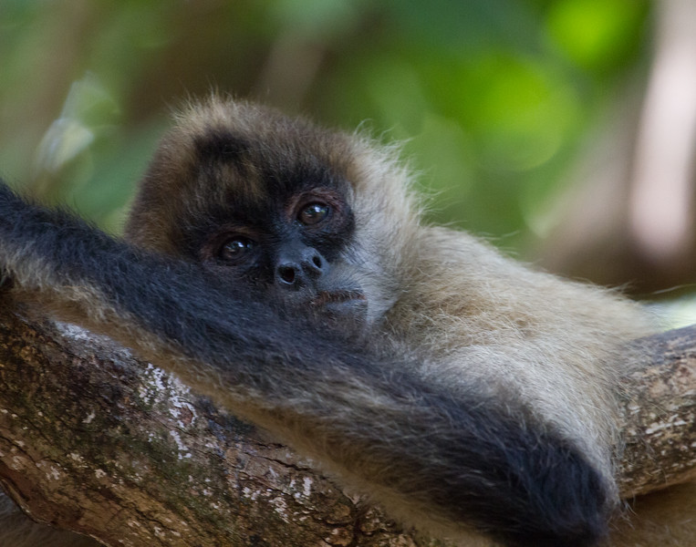 Lounging Spider Monkey. Costa Rica.