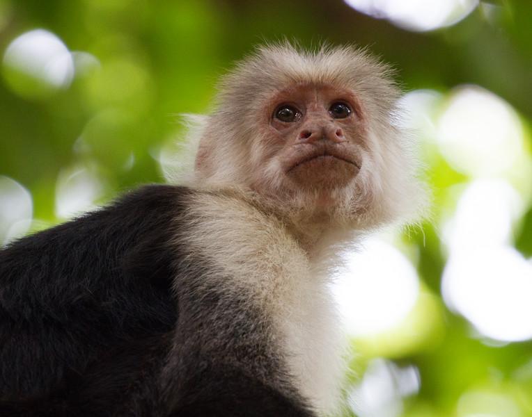 White Faced Monkey. Costa Rica.