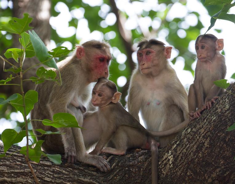Monkey Family. India.