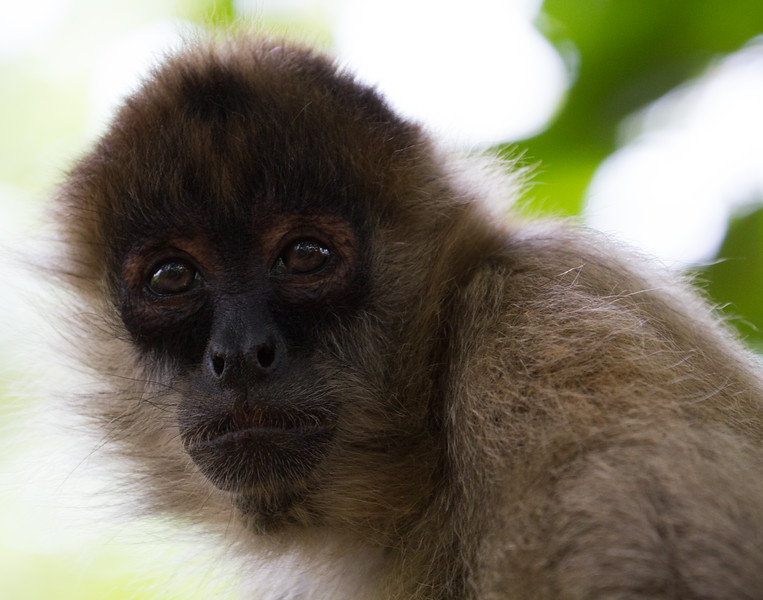 Brown Eyed Monkey. Costa Rica.