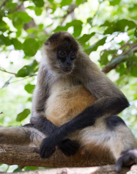Spider Monkey Chillin' - Costa Rica.
