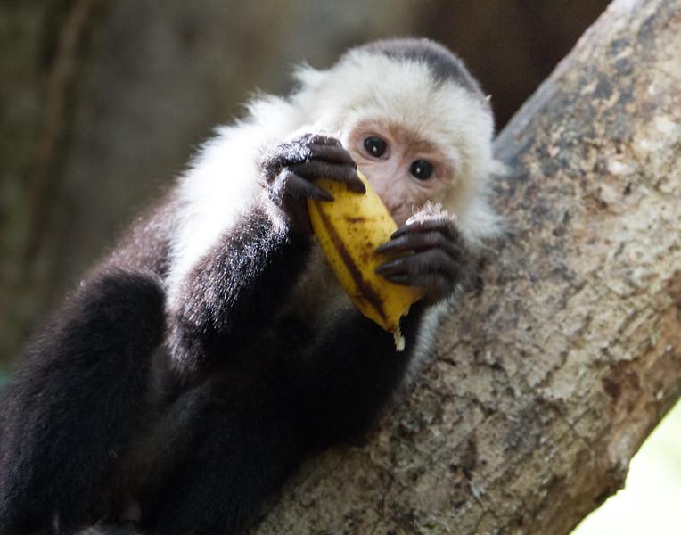 Monkeys Do Love Bananas. Costa Rica.